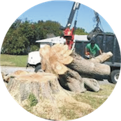 Tree removal using a grappling hook to remove main trunk