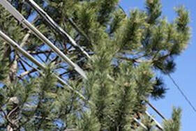 Pine tree limbs growing into power lines